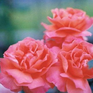 Fragrant Cloud Hybrid Tea Bush Rose