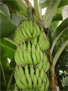 banana tree seeds in Flowers, Trees & Plants