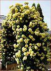 CASINO  Climbing Rose Plant Repeat Yellow Flowering SPECTACULAR