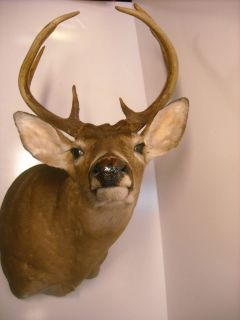 DEER Head White Tail BUCK Antlers   10 Point TAXIDERMY Mount 16
