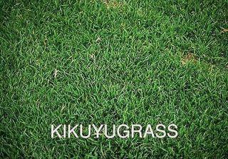 KIKUYU GRASS SEED PENNISETUM CLANDESTINUM AZ 1 10 GR. 4000+ SEEDS