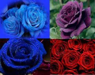 BLUE ROSE RED ROSE PURPLE ROSE 15 SEEDS 5 OF EACH AL1985SC ROSE BUSH
