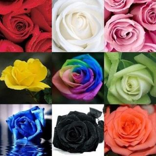 20 Rose Seeds Blue Red Green Pink Purple Black Rainbow Garden Flower 1