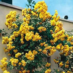 Rose Bush Seeds ★ Royal Gold Rosa ★ Climbing Rose Bush