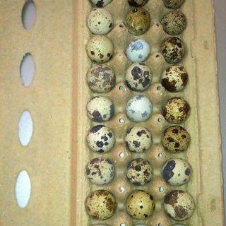 60 Jumbo coturnix quail hatching eggs NPIP Cert.