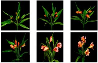 The Four Stages of the Alstroemeria Life Cycle