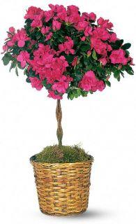 Topiaria con Azaleas Flores, Azalea Topiary Flower Bouquet   Teleflora