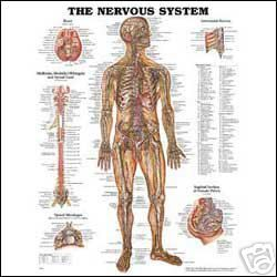 Nervous System Anatomical Anatomy Chart Charts Model