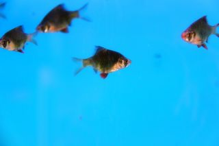 Live Freshwater Green Tiger Barb Fish Sumatra Barb