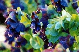 Cerinthe   Purple Shrimp Plant, Blue Wax Flower Seeds Iridescent Green
