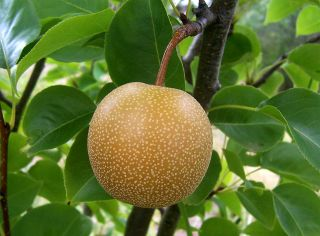 Asian Pear Chinese Sand Pear Pyrus Pyrifolia Tree Seeds