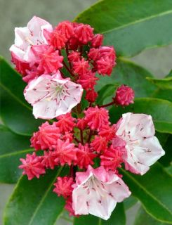 Olympic Fire Mountain Laurel Kalmia Very Hardy