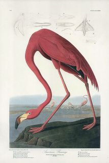 JOHN JAMES AUDUBON bird print AMERICAN FLAMINGO