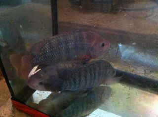 Blue Tilapia Breeding Colony Adults 6 12 Aquaponics Aquaculture