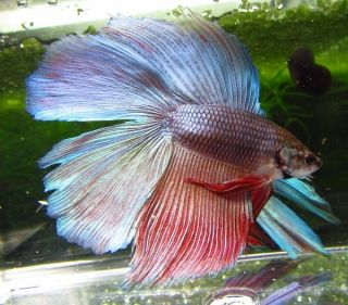 Blue Red Double Tail Male Live Betta Fish