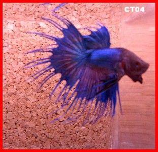 Male Crowntail Betta Blue,Blk & Purple Live Tropical Fish Breeder