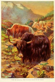 1925 Print Yak Wild Ox Tibet BOS Grunniens Mutus Bovine Tibet