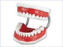 Dental Study Model Dentist Demo Teaching Medical Brush