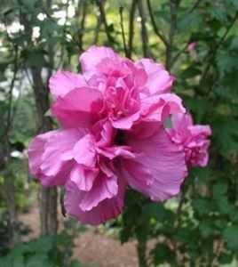 Double Carnation Pink Rose of Sharon 2 ft Tall $9 50