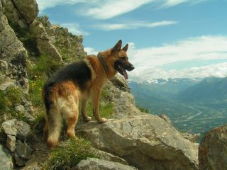 loyal and hard working German Shepherd Dog, one of the Working Dogs