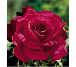 Jackson & Perkins Voluptuous Hybrid Tea Rose —