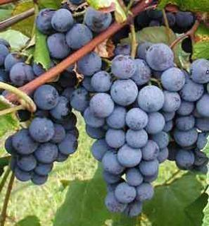Concord Grapes Grapevines Plants Fruit Bare Root Home Garden Grape
