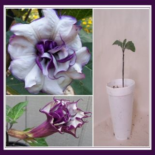 LIVE PLANT PURPLE WHITE DATURA Double Triple DEVIL angel TRUMPETS