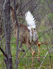 Gun Rack with Mounted buck Deer head Great price, Enfield rifle, free