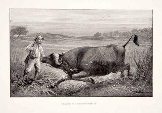 1898 Print Man Gun Hunt Shoot Buffalo Grassland Africa Landscape
