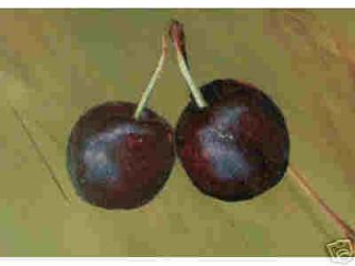 Dwarf Sweet Cherry Tree Fruit Quickly on Shrub Size with Edible Berry