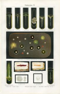 1894 Bacteria Bacillus Chromolithograph Print H Eichhorn