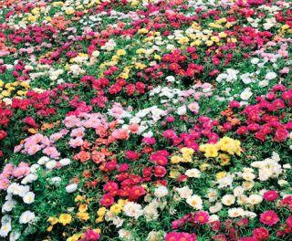 Flower Garden Seeds Rose Moss Farm Mix Low Growing