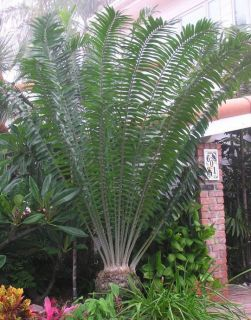 gratus Mulanje Cycad FAST Grow Live Plant Cactus 3 Plant SPECIAL