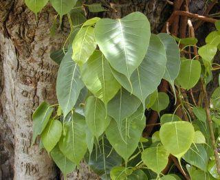 Ficus religiosa seeds Indian Sacred fig Tree Bonsai Peepal Buddha Tree