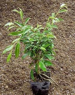Oriental Weeping Fig Tree   Ficus   Bonsai or House Plant   4 Pot