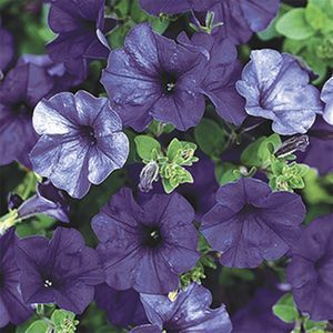 Spreading Type Live Flower Garden Plants Preseason Order