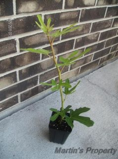 Fig Tree Ronde de Bordeaux
