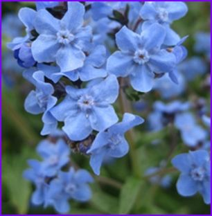 Easy Fast Growing Chinese Forget Me not Annual Seed