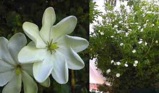 Very Fragrant Wild Gardenia Fresh Seeds