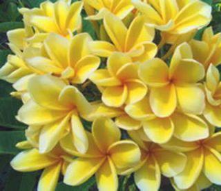 Plumeria Frangipani Baleehygold Flowers 30 Seeds