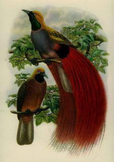 RARE Gould Lithograph Print Tropical Wildlife Australian Exotic Bird