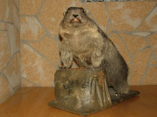 Alpine Marmot Woodchuck Groundhog Life Size Mount Taxidermy Free