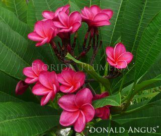 Plumeria Plant Cutting Donald Angus