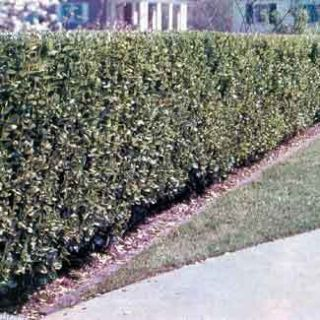 Privet 10 Live Bare Root Plants 12 18 Tall Can Make A Hedge