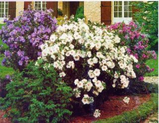 HIBISCUS SYRICUS,ROSE OF SHARON,ALTHEA   MIXED COLORS 100+ seeds,fresh