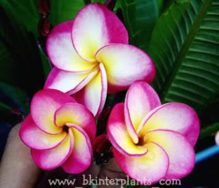Plumeria with Rooted Danai Delight Very Beautiful