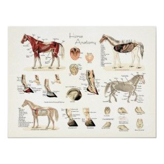Horse Anatomy Poster. Unique Horse anatomy poster created with vintage