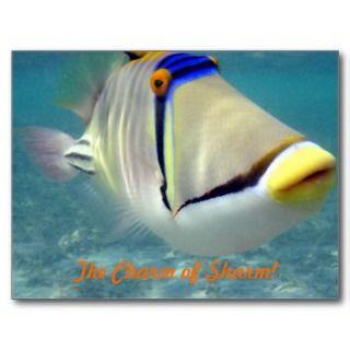 Picasso Triggerfish,Sharm El Sheikh,Egypt Postcard