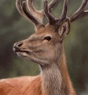 Highland Stag Original Rachel Stribbling Oil Painting