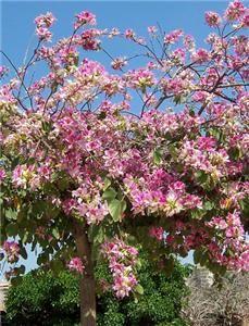 Tree Seeds RARE Pink Flower Variegata Bauhinia Grow Patio Plant